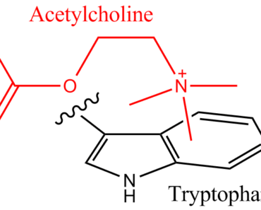 acetylcholine function